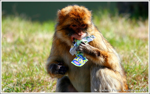 Toronto Zoo - Barbary ape