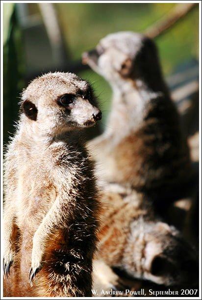Toronto Zoo - Meerkats
