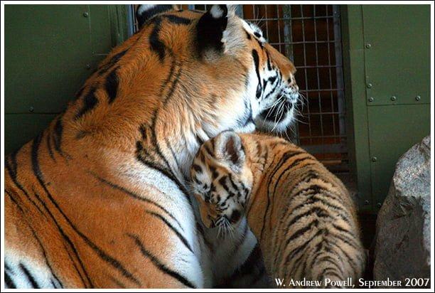 Toronto Zoo - Siberian Tigers