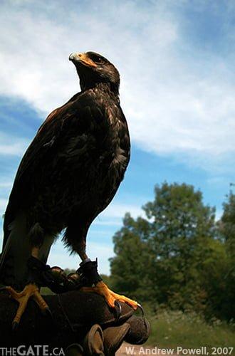 Falconry at Wye Marsh