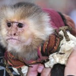 Chiquita the monkey