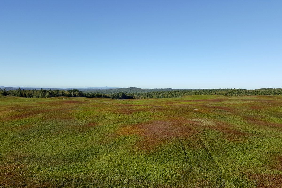New Brunswick blueberry field