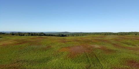New Brunswick blueberry field