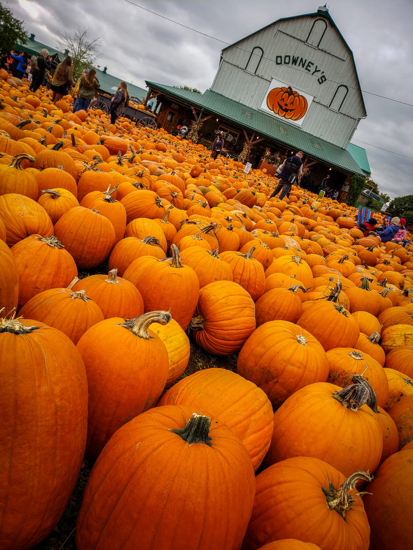 Downey's Farm | Pumpkin Patch